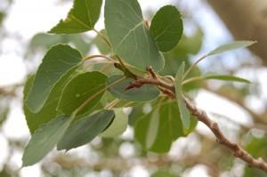 A close up shot of Aspen Leaves