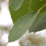 thumbnail Aspen Leaf close up