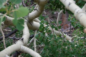 An Aspen Tree in Rocky Mountain National Park