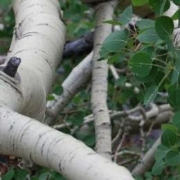 thumbnail Aspen Tree
